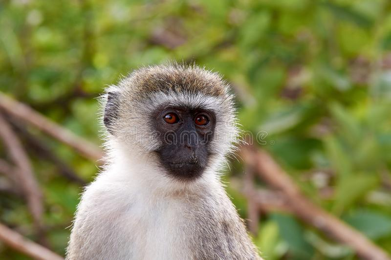 Close-up view of head and face of monkey, with blurred green trees in the background. Close-up view of head and face of monkey, with blurred trees in the royalty free stock image