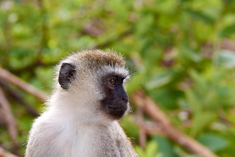Close-up view of head and face of monkey, with blurred trees. In the background stock photography