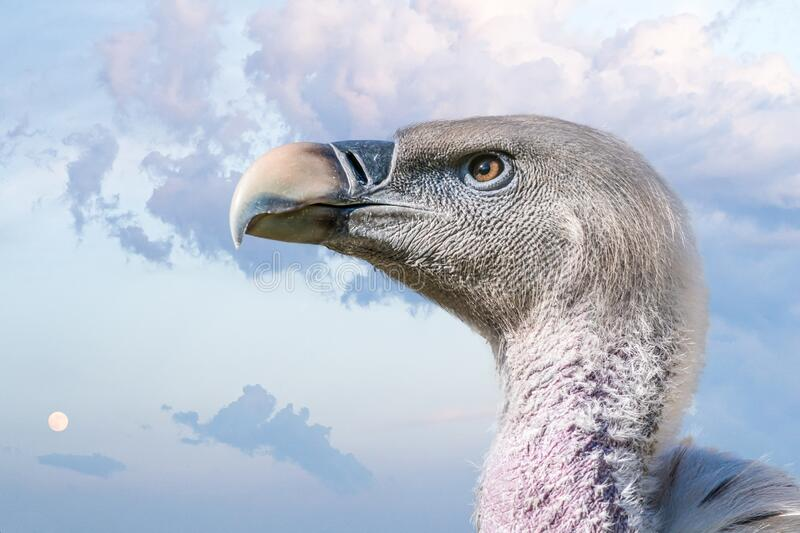 Close up view on head of vulture bird. Sky in background. royalty free stock photos