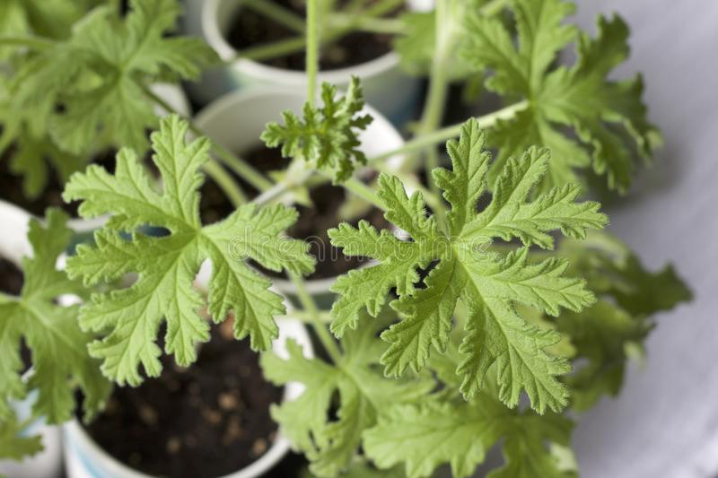 Close up view of a propagated rose geranium herb plants with lacy leaf texture stock photo