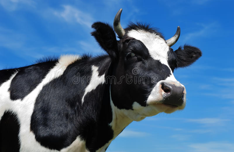 Close-up view of horned cow stock image