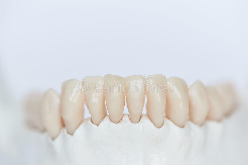 Close-up view of human teeth on jaw bone. Close-up view of artificial human teeth on jaw bone model royalty free stock images
