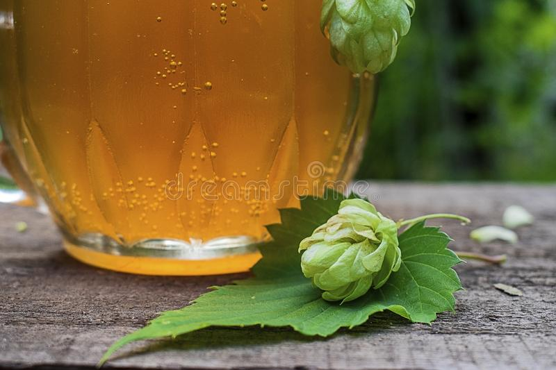 Close up view on Humulus hop cones and glass of cold beer at summer garden. Close up view on Humulus hop cone and glass of cold beer on old wooden table at royalty free stock image