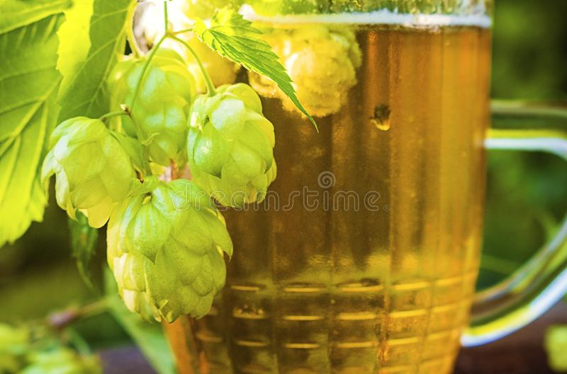 Close up view on Humulus hop cones and glass of cold beer at summer garden. Tradition brewery concept royalty free stock images