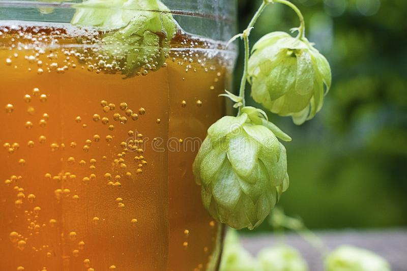 Close up view on Humulus hop cones and glass of cold beer at summer garden. Tradition brewery concept royalty free stock photography