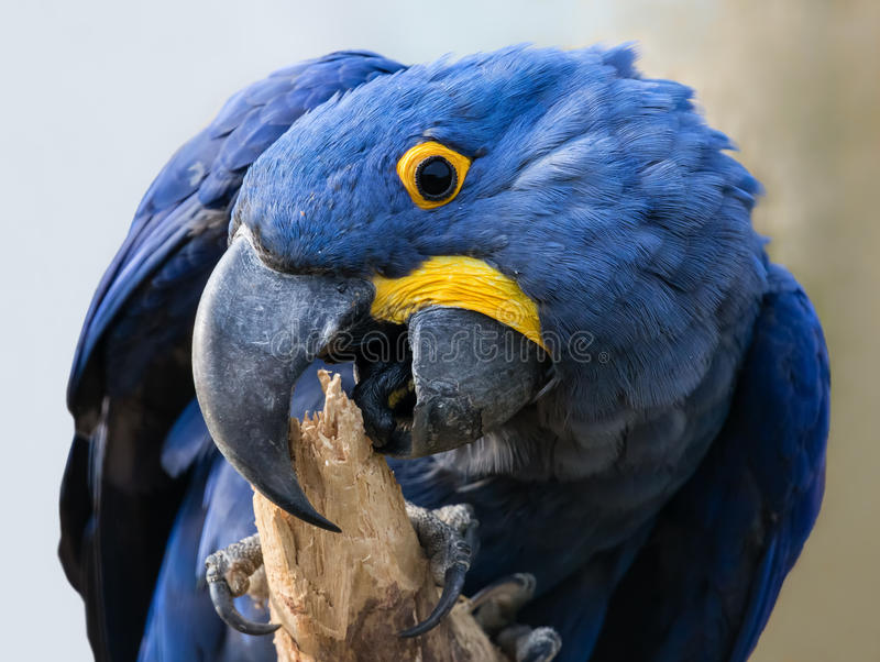 Close-up view of a Hyacinth macaw royalty free stock image