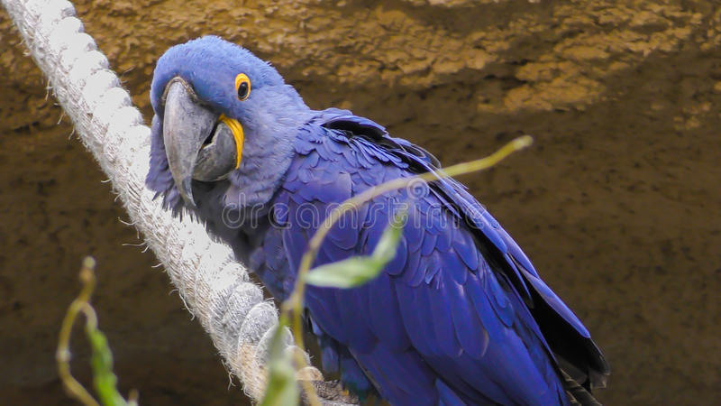 Close-up view of a Hyacinth macaw stock photo