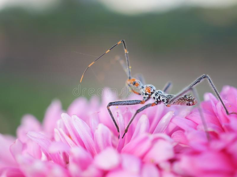 View of insects with long legs and mustaches, legs pinned on pink flowers. royalty free stock photography