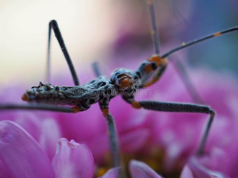 View of insects with long legs and mustaches, legs pinned on pink flowers. royalty free stock images