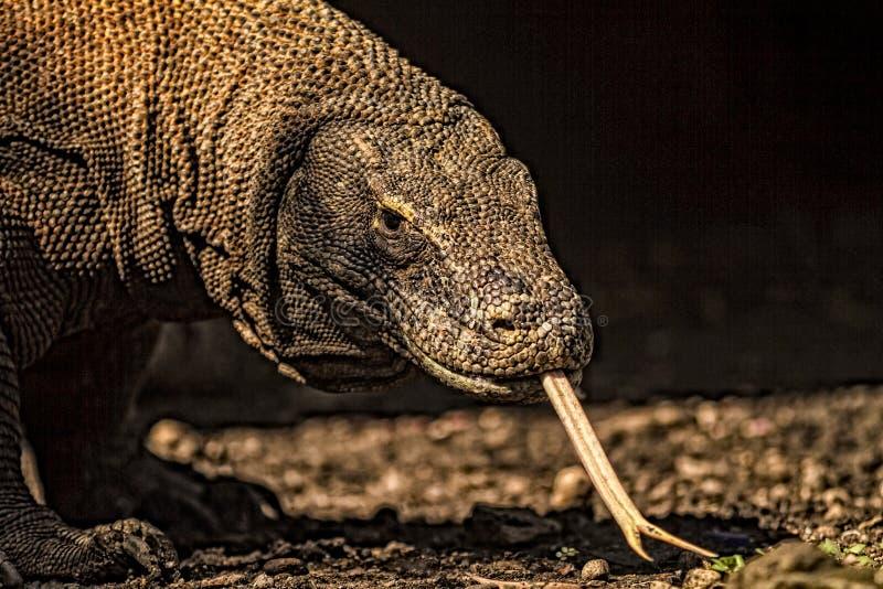 Close up view of a Komodo Dragon. Komodo dragon (Varanus komodoensis) in Komodo National Park, Indonesia. The Komodo dragons are the largest lizards in the world stock photography