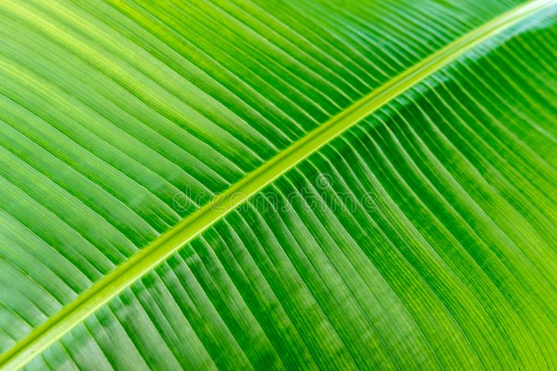 Close up view of lines and texture of Green Palm leaf. Nature background royalty free stock photo