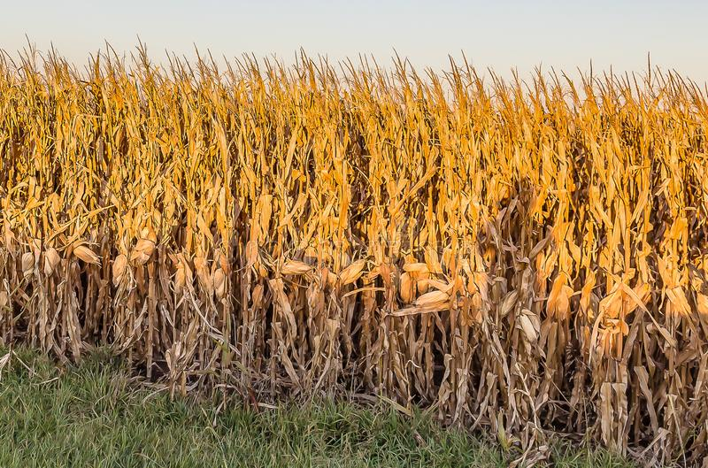 Close up view of mature cornfield Omaha Nebraska stock image