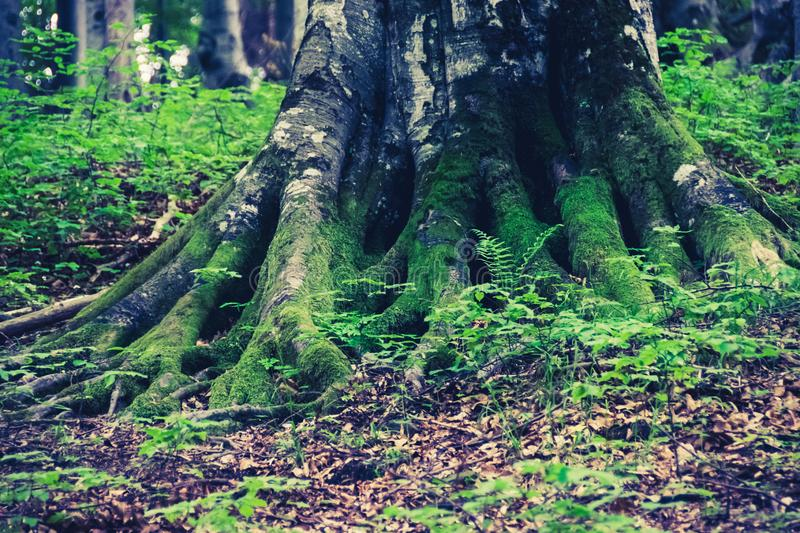Massive roots of tree royalty free stock image