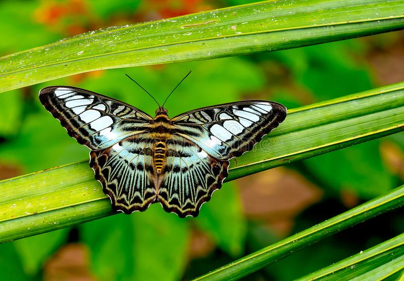 Close up view of multicolored butterfly with green black brown black and white pattern stay on leaf of plant in the forest of. National park in Thailand royalty free stock image