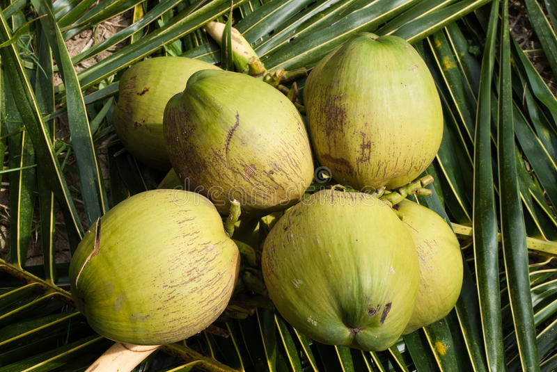Close Up View Of Nice Fresh Coconut Stock Image