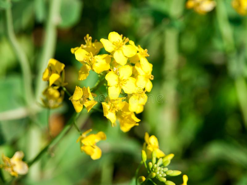 Close-up view od rapeseed, canola or colza yellow blossom.  royalty free stock photos
