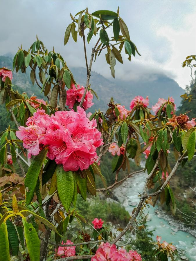 Free Close Up View Of Pink Rhododendron Flowers And Mountain River In The Background In Nepal Royalty Free Stock Photos - 154466298