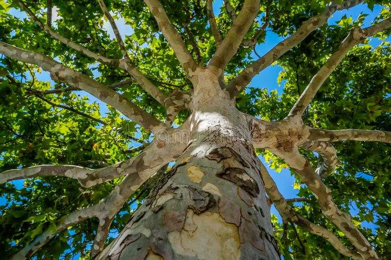 Close-up view of the old and big tree, from down to the treetop. royalty free stock image
