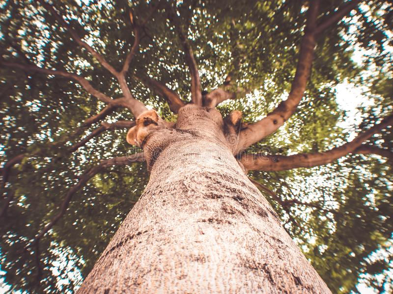 Close-up view of the old and big tree, from down to the treetop nature background royalty free stock image