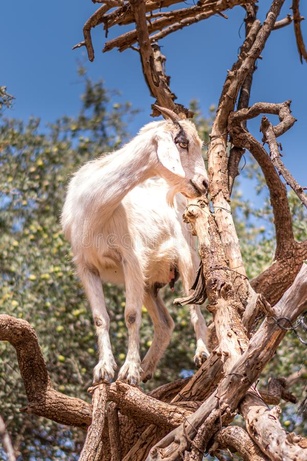 Close up view of one goat standing climbing on the argan tree stock photography