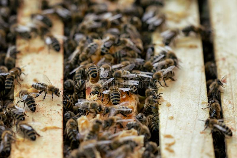 Close up view of the open hive showing the frames populated by honey bees. stock photo