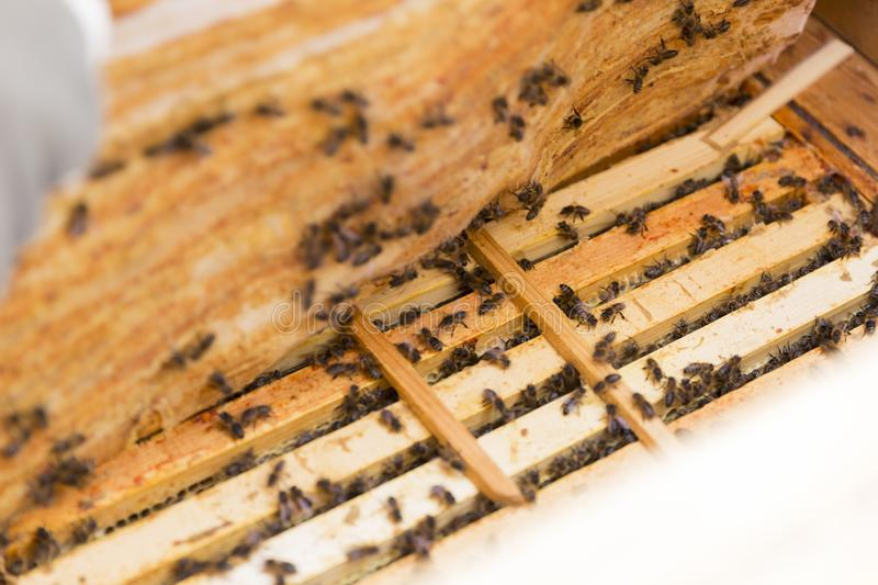 Close up view of the opened hive body showing the frames populated by honey bees royalty free stock photo