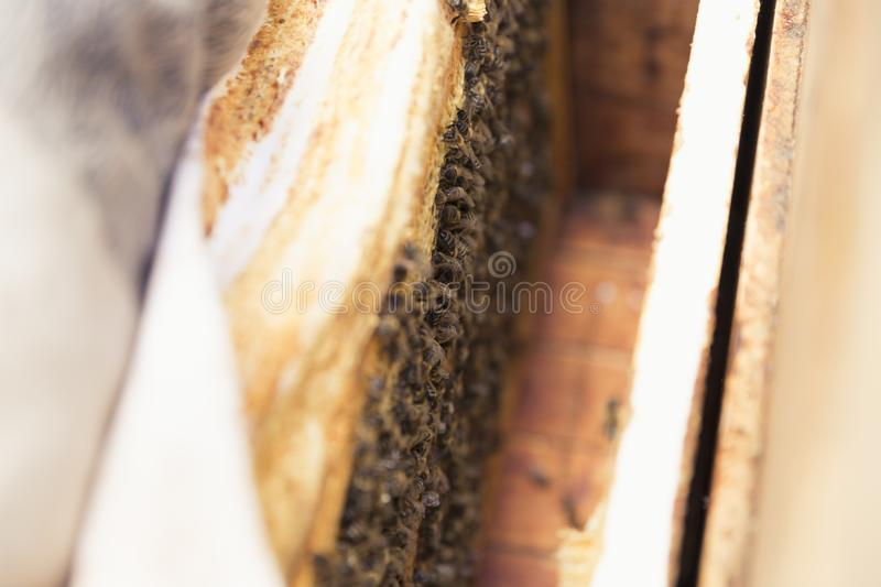 Close up view of the opened hive body showing the frames populated by honey bees royalty free stock images