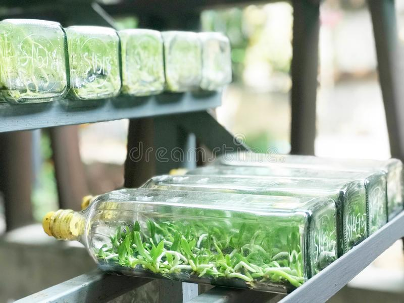 Close up view of orchid or plant tissue culture or lab in glass. Side view of orchid or plant tissue culture or lab in glass bottles on metal shelf, botany and stock photo