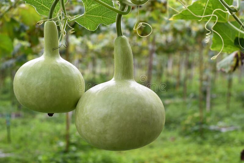 Close-up view, Organic winter melon in the garden. royalty free stock image