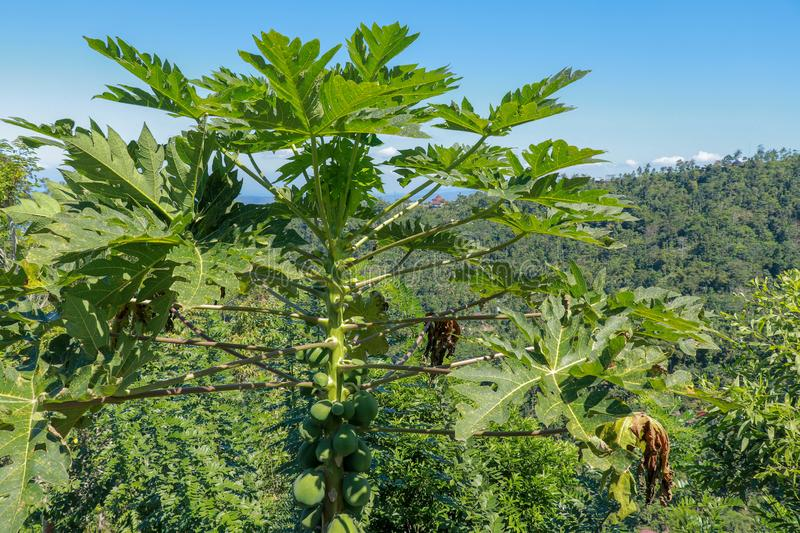 A close up view of a papaya tree with ripened fruits. Huge leaves of papaya on long stalks. Background with tropical forest. royalty free stock image