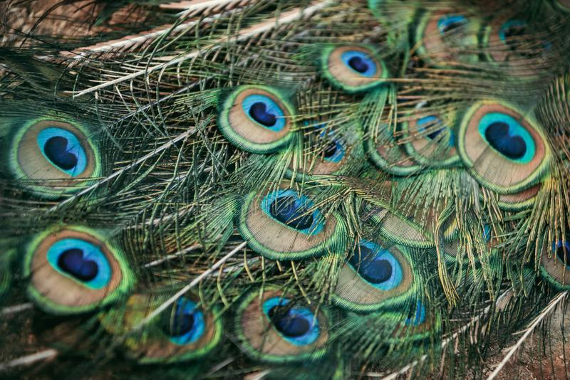close up view of peacock beautiful stock photo