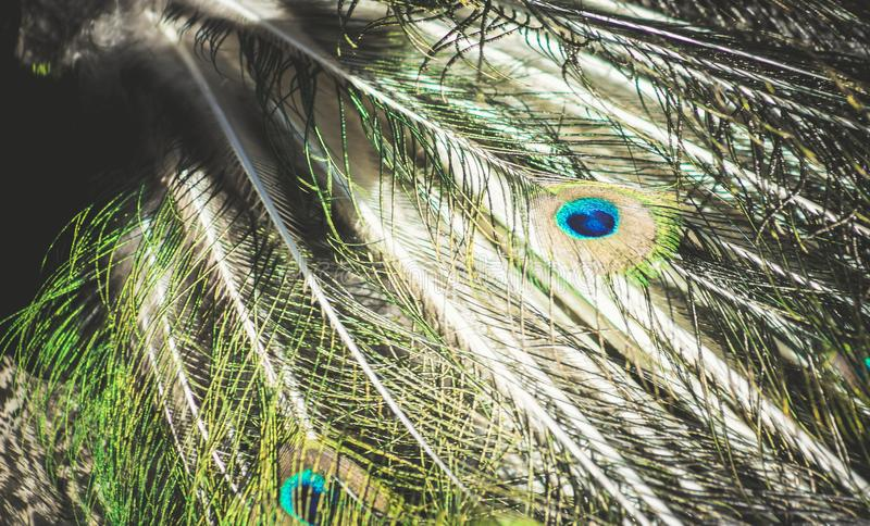 Close up view of Peacock Feathers stock image