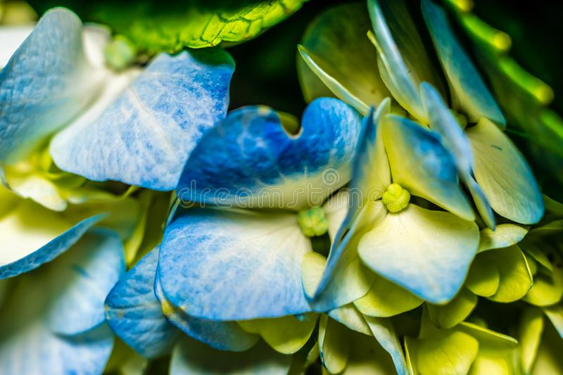 A macro image of a hydrangea stock images
