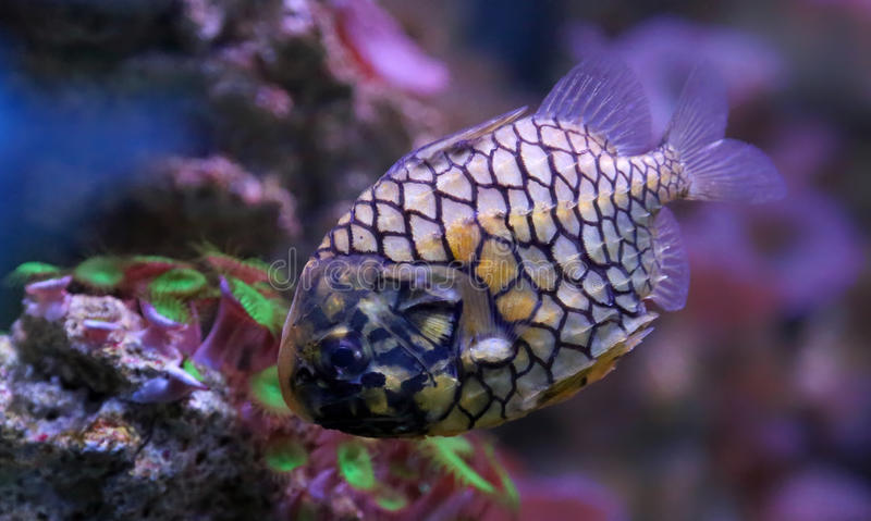 Close-up view of a pinecone fish stock photography