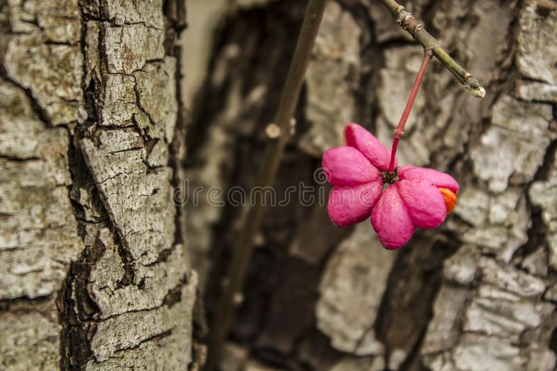 Close up view of a pink Euonymus europaeus seed covered with dew on a tree bark background stock images