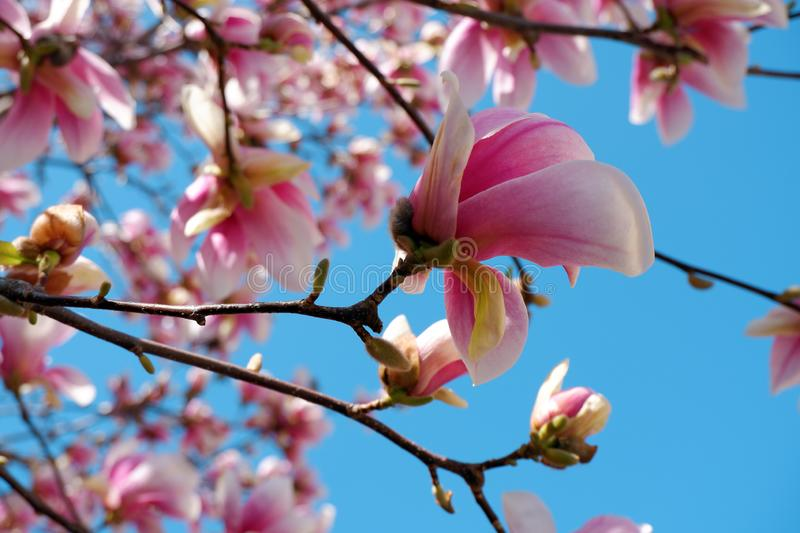 Close up view of pink magnolia flowers blossom on blue sky background stock photography