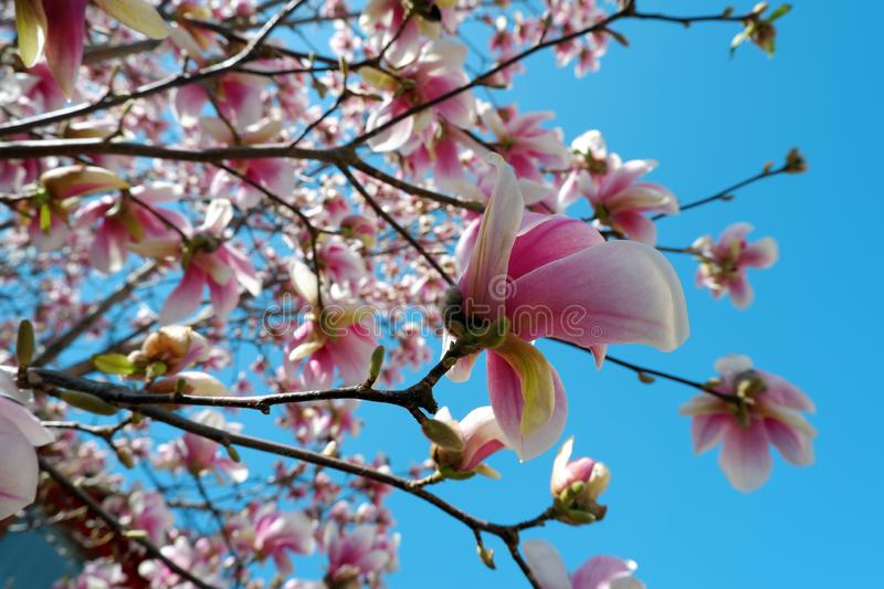 Close up view of pink magnolia flowers blossom on blue sky background stock images