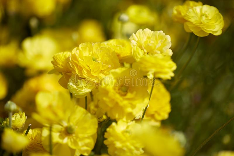 Close up view of Ranunculus flowers in a field aka buttercup flower, blooms in vibrant warm yellow color . Spring time. Copy space stock photo