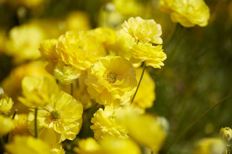 Close up view of Ranunculus flowers in a field aka buttercup flower, blooms in vibrant warm yellow color . Spring time. Copy space. Spring time. Close up view of royalty free stock images