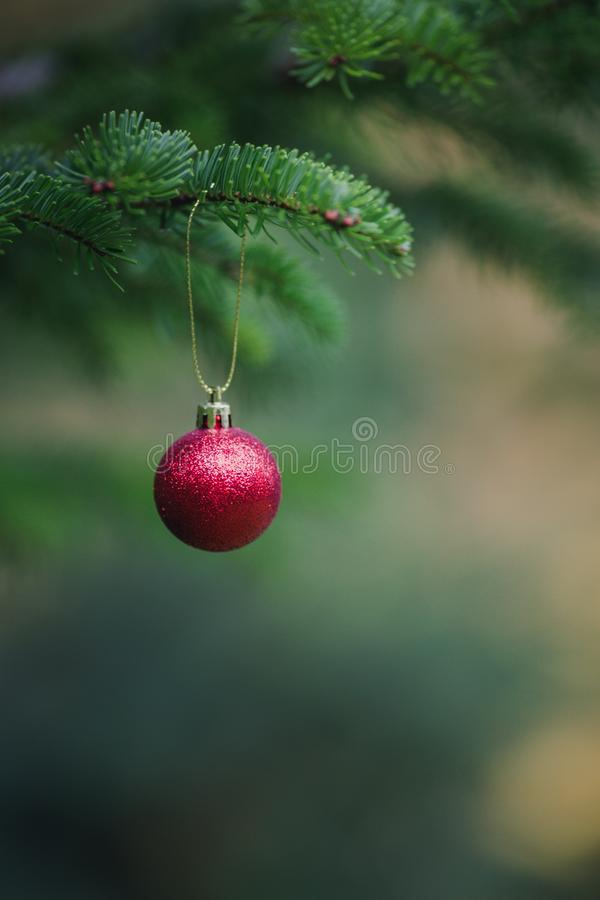 Close-up view of red ball as decoration hanging on the branches of a Christmas tree and sparkling in the sunshine. Christmas in royalty free stock images