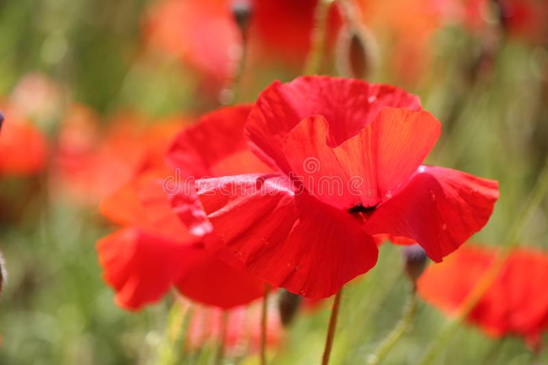 A close-up view of red poppies on Lancing Down in East Sussex, England stock photo