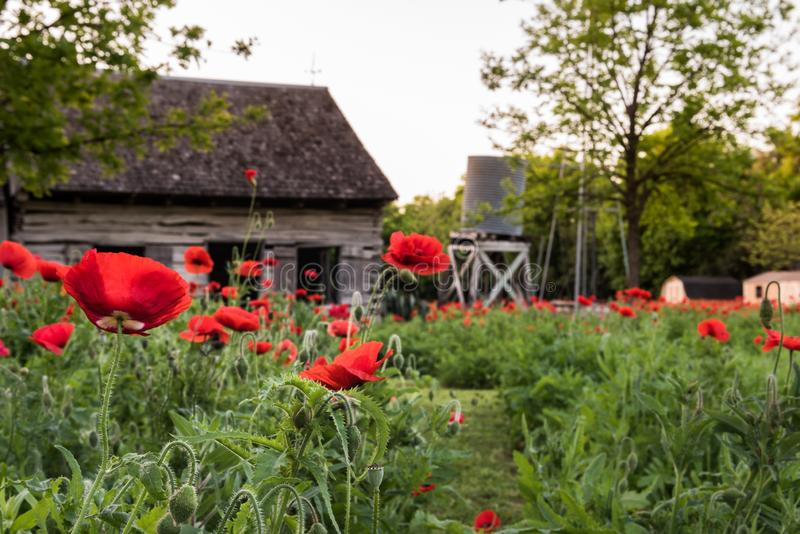 Close up view of red poppies with old shed and water tank. In the background stock photo