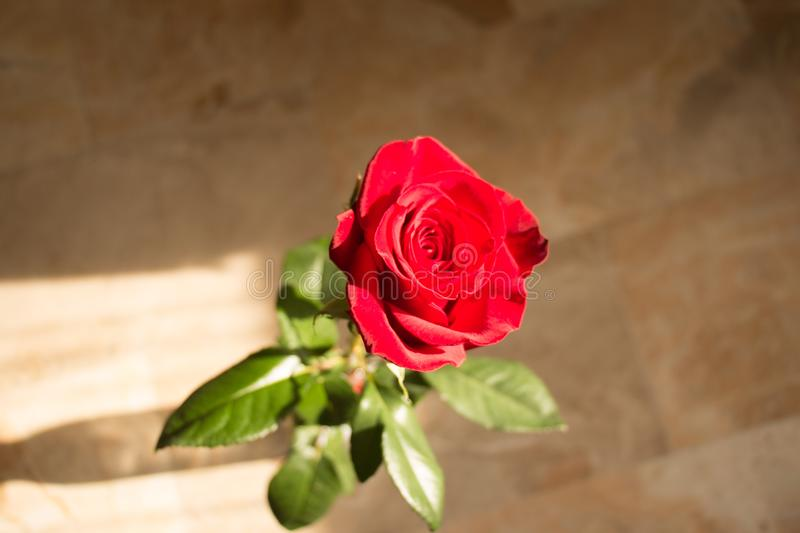 Red rose close up. Top view. Red rose bud opening stock photo