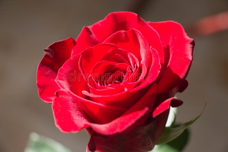 Red rose close up. Top view of red rose bud opening royalty free stock images