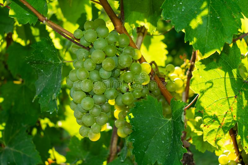 Close up of white grapes in sunlight royalty free stock photography