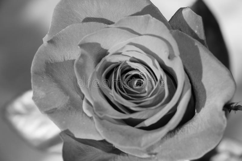 Close up view of a rose. Black and white photo effect stock photo