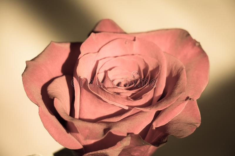 Close up view of a rose bud opening. Aged photo effect royalty free stock image