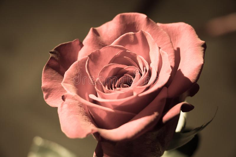 Close up view of a rose bud opening. Aged photo effect royalty free stock images