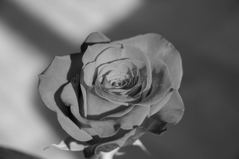 Close up view of a rose bud, top view, black and white photo effect royalty free stock photos