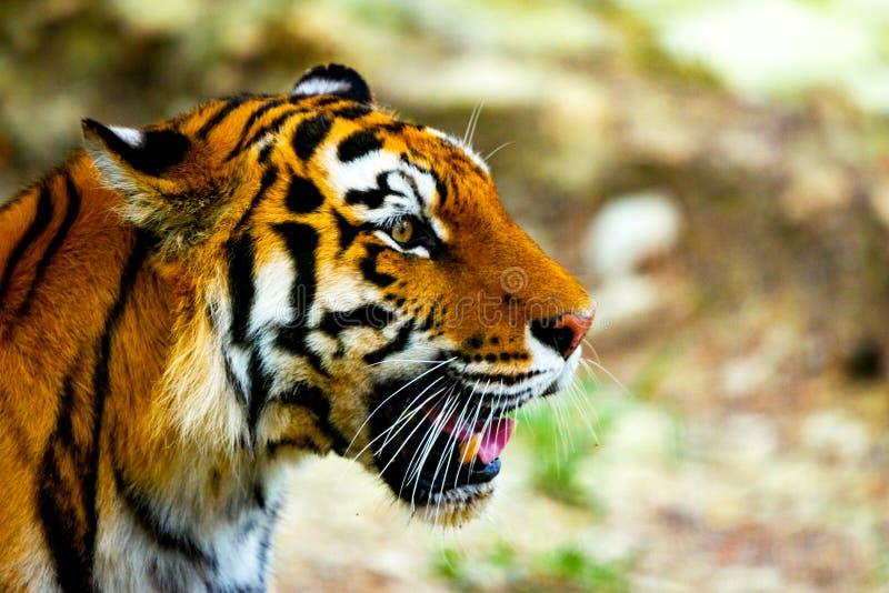 Close up view of a Siberian tiger or Panthera tigris altaica royalty free stock photos
